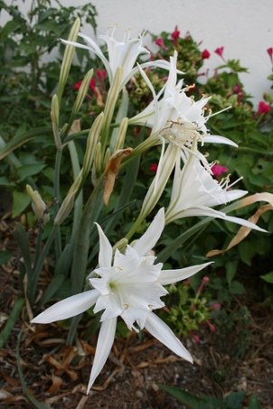 Ikaria sea lillies