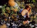 Lafina Manganitis bush