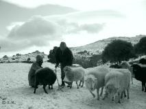 03 sheep snowy mountain plateau