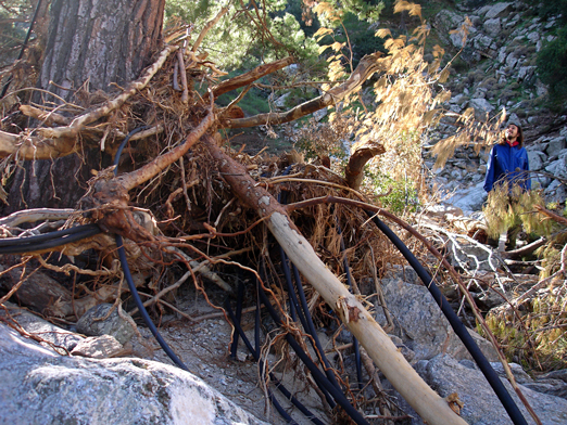 Uprooted dead pine with pieces of plastic pipes