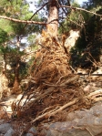 Another strangled pine