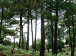 Ikaria blog 029: Inside the Pinus brutia pine forests