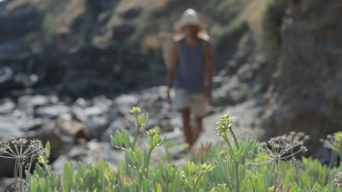 gathering samphire in ikaria 1