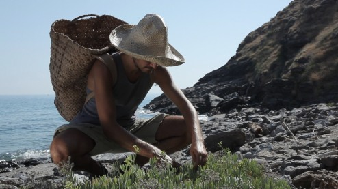 gathering samphire in ikaria 2
