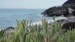 Wild samphire in the Ikarian coast