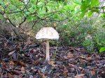 Parasol mushroom (Lepiota proсеrа)