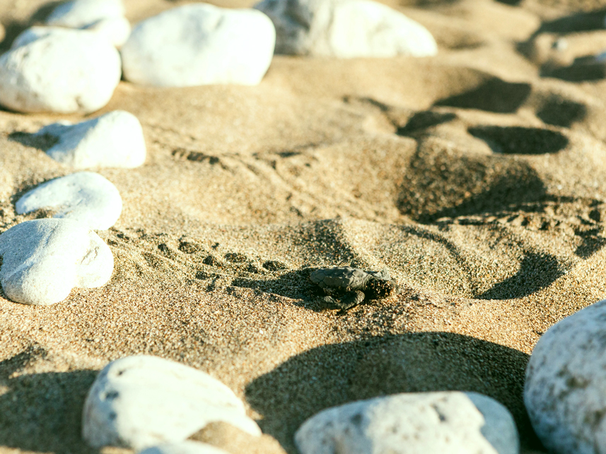 baby sea turtle october ikaria 2
