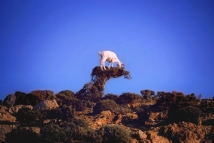 Goat eating a bush in Ikaria