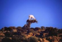 Goat eating a bush in Ikaria